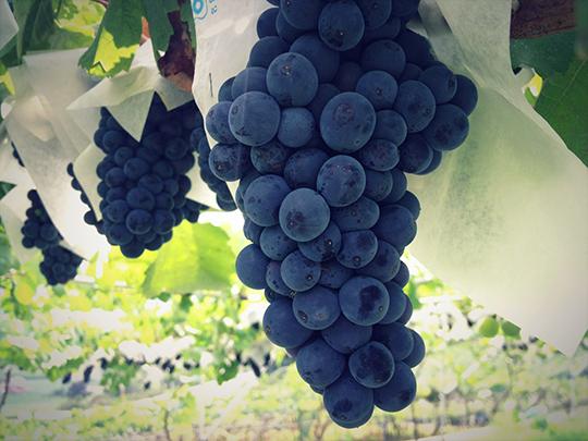 キスヴィン,キスヴィン ワイナリー,日本ワイン,甲州100%,山梨 ワイン