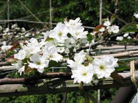 梨の花の画像
