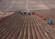 らっきょう畑の画像
